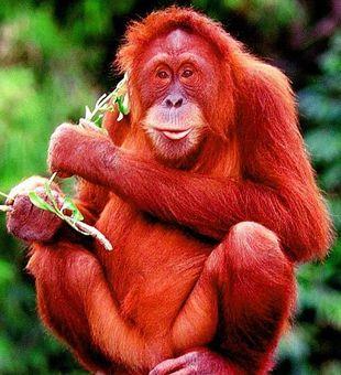 Красная огненная обезьяна фото